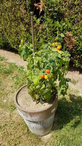 Madame Anne-So_Plant de tomates Arthur (4)