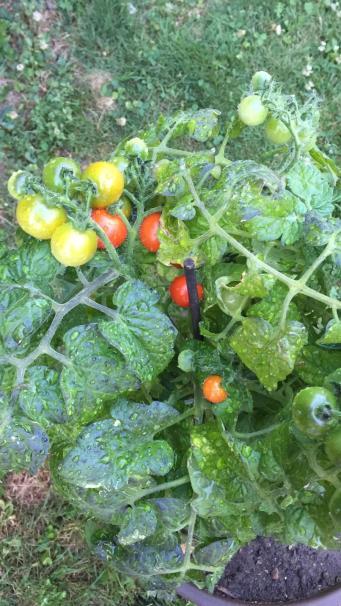 Madame Anne-So_Plant de tomates Arthur (8)